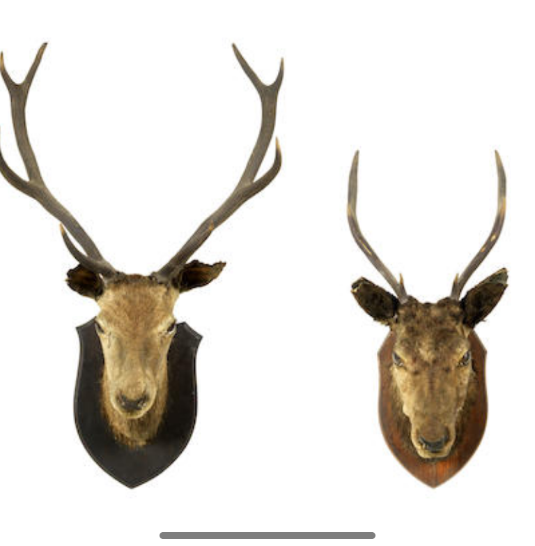 A taxidermy mounted Red stag's head