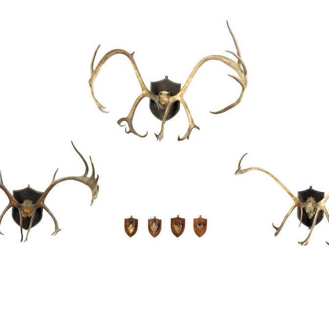 A collection of three skull mounted Reindeer antlers