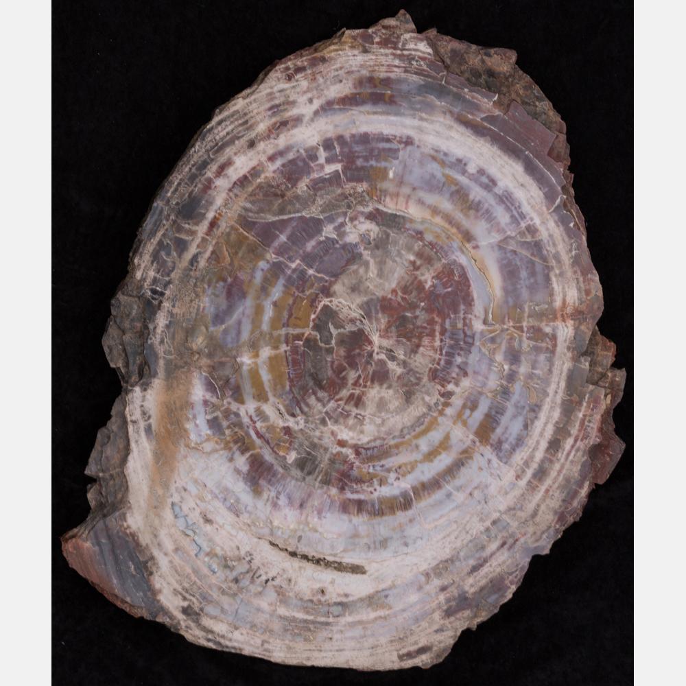 A Petrified Wood Slab