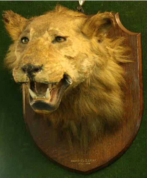 TAXIDERMY: AN AFRICAN LIONESS HEAD