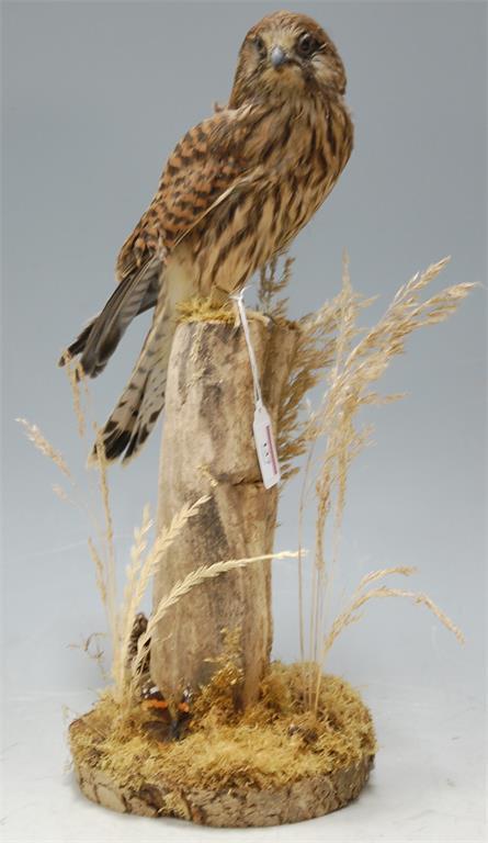 A modern taxidermy kestrel mounted on a naturalistic setting