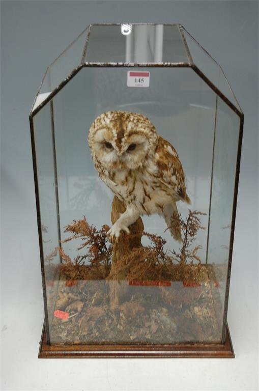 A 20th century taxidermy tawny owl