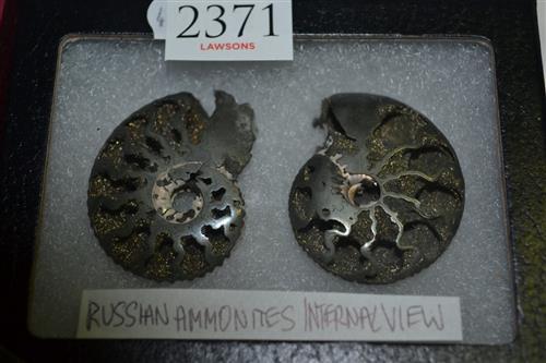 Russian Ammonites