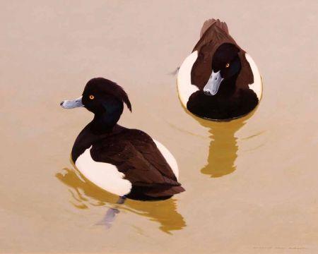 Tufted Ducks