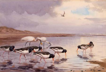 Spoonbills and Oystercatchers