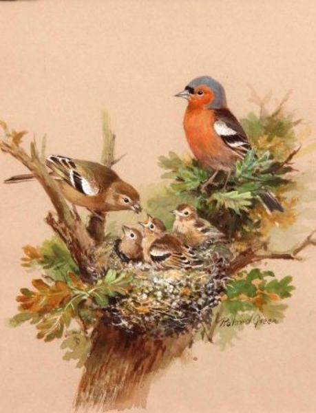 Chaffinches Feeding their Young