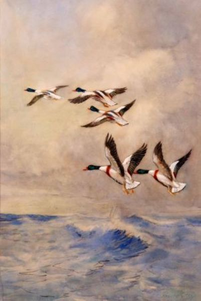 Mallard in Flight over Sea