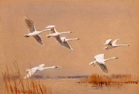 Swans in Flight over a Broad